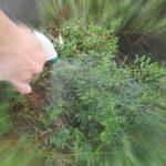 【グリホサート】楽チンにもほどがある!環境に優しいグリホサートで一発除草