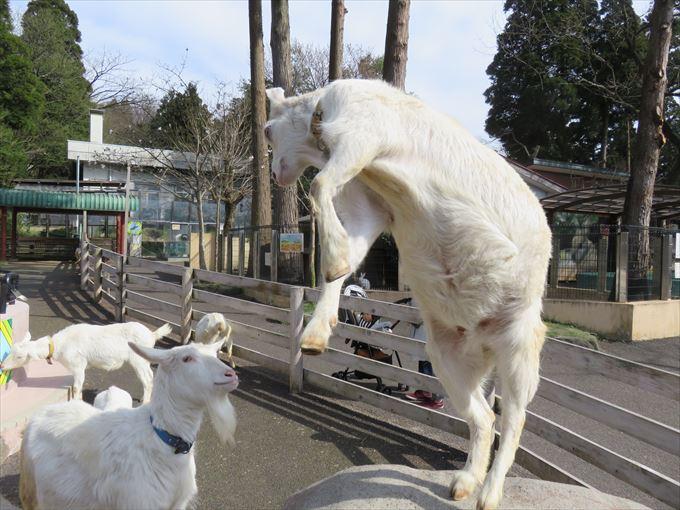 富山市ファミリーパークのヤギ